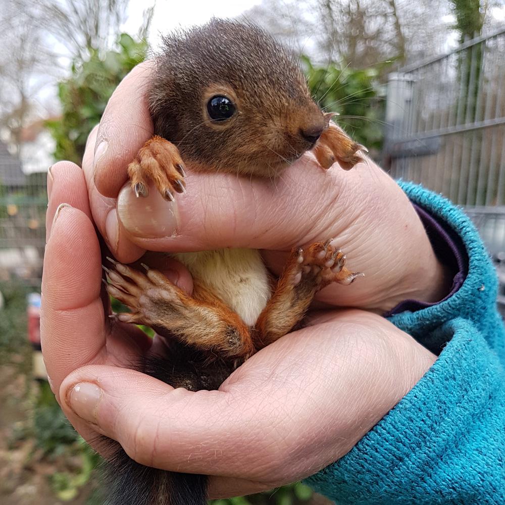 Rettung Eichhörnchen - Tiernotruf e.V.