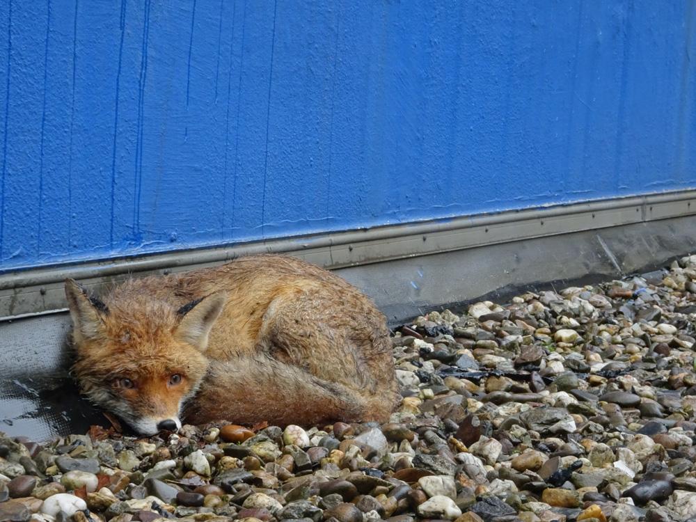 Verirrter Fuchs - Tiernotruf e.V.